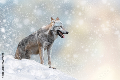 Wall mural Wolf in a snow on Christmas background
