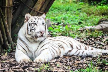Foto op Plexiglas Tijger Rare White Bengal Tiger in green habitat