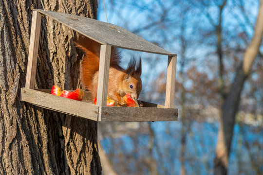 Cute red squirrel eats food in the bird feeder.