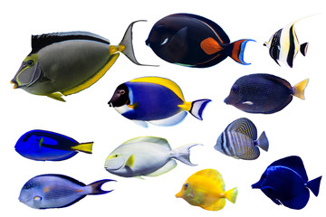 Wall Mural - Set of Surgeonfish on white isolated background with clipping path such as achiles, powder blue and naso