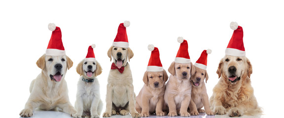cute labrador retriever and golden retriever family wearing santa claus hats