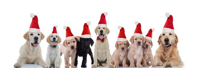 big Labrador and Golden retriever family celebrating christmas together