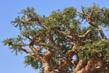 Frankincense Tree Photos Royalty Free Images Graphics Vectors