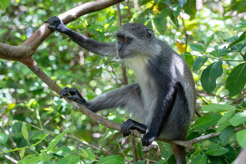 Foto op Canvas Aap Wild endemic blue monkey sitting on the branch in tropical forest on the island of Zanzibar, Tanzania, East Africa