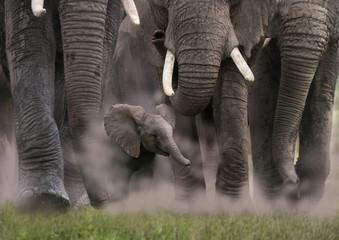 Keuken foto achterwand Olifant Afrikanische Elefant (Loxodonta africana) Gruppe mit Jungtier von vorne, Kenia, Ostafrika