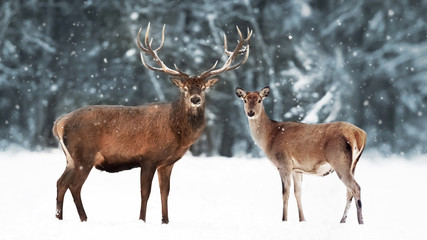 Wall Mural - Noble deer male with female in winter snow forest. Artistic winter landscape. Christmas image.