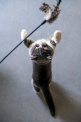 Funny shorthair cat playing with toys