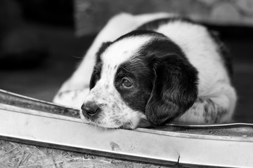 Black and white closeup portrait of a sad puppy dog. Artistic, emotion photo.