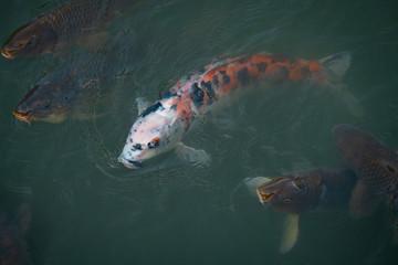 wild koi fish in the water