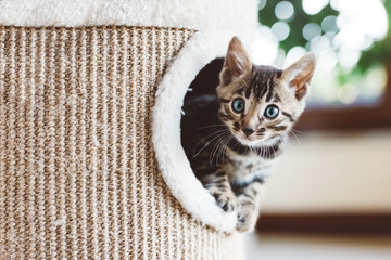 Young Bengal kitten play in cat tree at home Fototapete