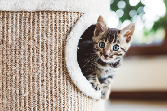 Young Bengal kitten play in cat tree at home