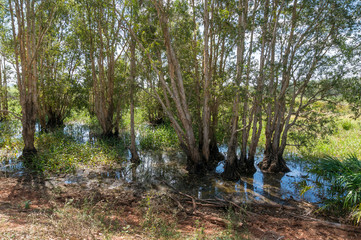 Nature background of flooding with eucalyptus trees in water