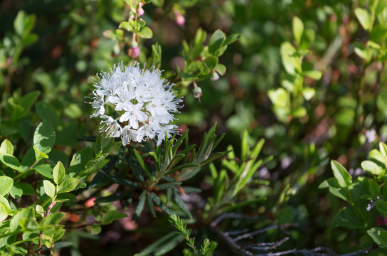 Flowering Rhododendron tomentosum (syn. Ledum palustre)