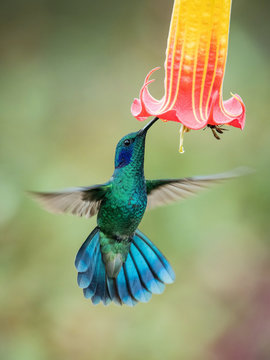 Colibri thalassinus, Mexican violetear The Hummingbird is hovering and drinking the nectar from the beautiful flower in the rain forest. Nice colorful background...