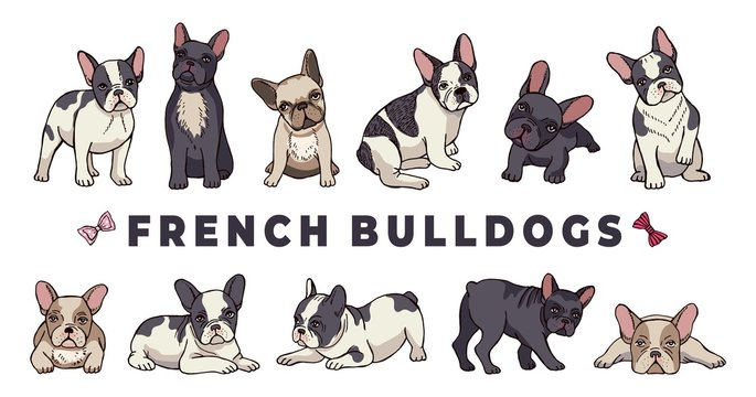 French bulldogs. Vector bulldog set. Funny cartoon puppy isolated on white background. Puppy bulldog, purebred dog funny illustration