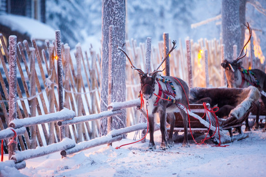 Reindeer with sledge in winter forest in Rovaniemi, Lapland, Finland
