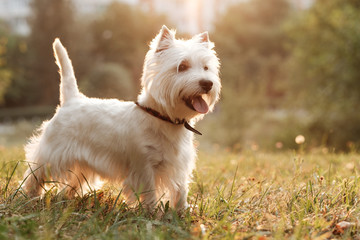 Obraz Portrait of One West Highland White Terrier in the Park - fototapety do salonu