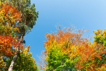 Autumnally colorful treetops with sky