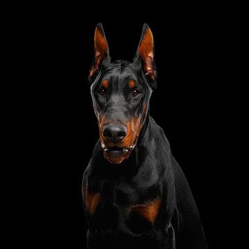 Portrait of Angry Doberman Dog looks menacing on isolated Black background
