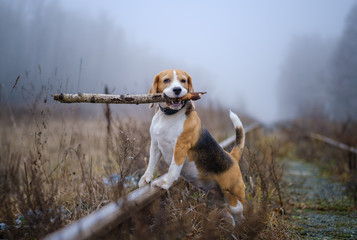 funny dog breed Beagle holding a stick in his teeth during a walk in the autumn Park in thick fog