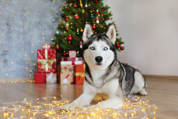 Black and white siberian husky on Christmas eve concept. Adorable doggy, lying down on the floor over pine tree with bokeh lights and stacks of presents. Festive background, close up, copy space.