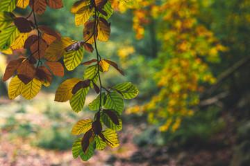 Färbung der Buchenblätter im Herbst