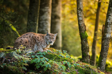 Photo on textile frame Lynx Eurasian lynx in the natural environment, close up, Lynx lynx