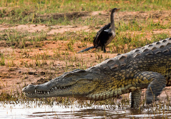 Close up of a Large Nile Crocodile on the waters edge with front foot raised, there is motion blur of the moving front foot.  There is an out of focus cormorant in the background Hwange National Park