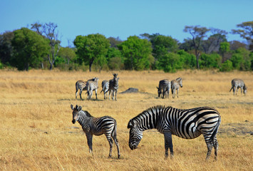 Zebra grazing on the dry yellow grass on the plains of Africa.  There is a small out of focus herd in the distance.  Hwange National Park, Zimbabwe