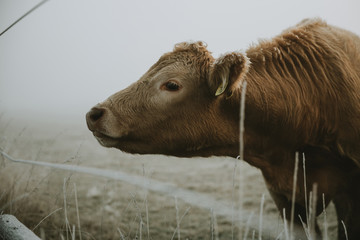 Head of the young brown furry cow looking sideways through the wire fence during frosty autumn morning on the frozen meadow