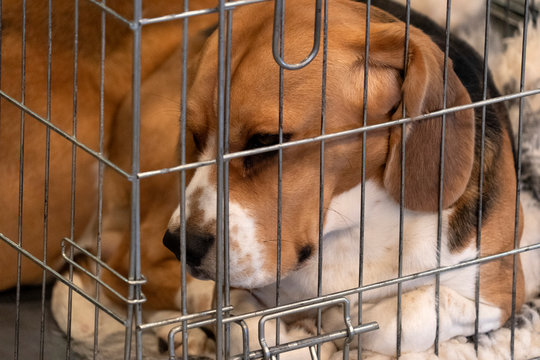 experiment Beagle dog in a cage