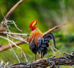 Sri Lanka Junglefowl is standing on a log in the jungle. Sri Lanka. Yala National park