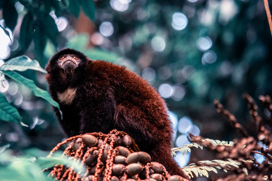 A monkey on a tree branch in the Amazon jungle. Little and cute monkey in the jungle. Cuyabeno Reserve, Ecuador.