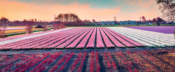 Photo sur Toile Culture Picturesque spring scene of field of blooming hyacinth flowers. Panoramic spring sunrise in Netherlands, Europe. Traveling concept background.