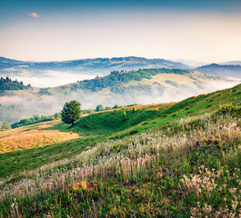 Wall Mural - Blooming white flowers in the summer mountains. Amazing morning view of Borzhava ridge, Carpathian mountains, Ukraine, Europe. Beauty of nature concept background..