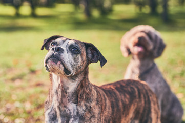 top-down view portrait of an aged boxer dog with spanish water dog unfocused in the background