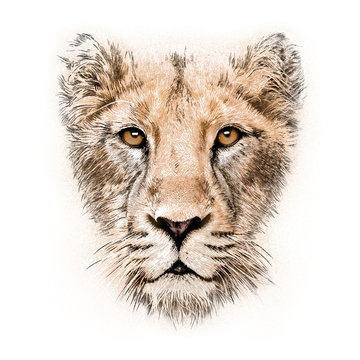 hand-drawing portrait of  a lioness