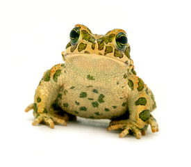 Foto op Textielframe Kikker spotted toad sitting close-up on white background