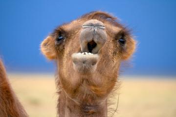Poster Kameel Bactrian camel portrait in desert under storm sky, Mongolia