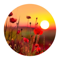 Wall Mural - Round icon of nature with poppies on sunrise. Fantastic spring scene of the booming flowers. Photography in a circle. .