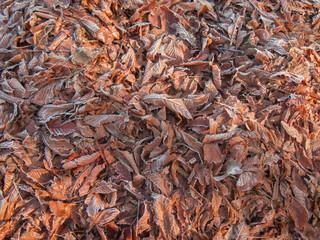 Fototapeta Suche, leżące na ziemi liście pokryte szronem. obraz