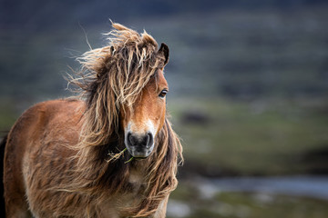 Wilde Shetland Ponys auf den Inseln der Äußeren Hebriden in Schottland