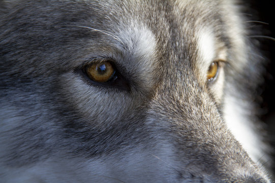 close up of head of wolf