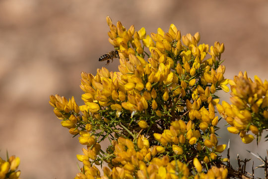 A bee gathering nectar and pollen from a blooming gorse bush.