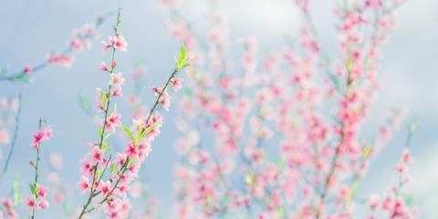 Apricot branch with pink flowers panorama. Spring blooming tree background. Nature backdrop....