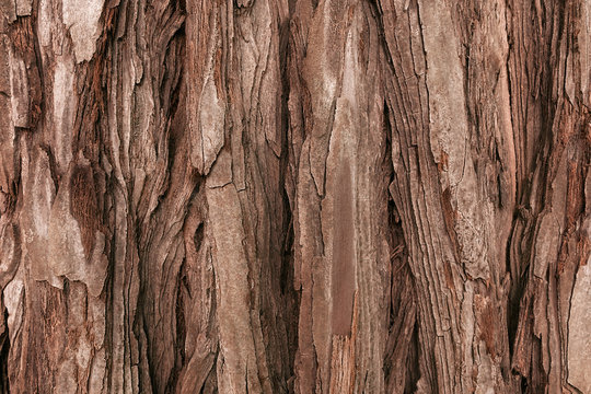 The textured bark of a young coastal redwood. Sequoia bark natural background. Close-up.