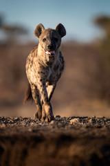 Photo sur Plexiglas Hyène Hyena