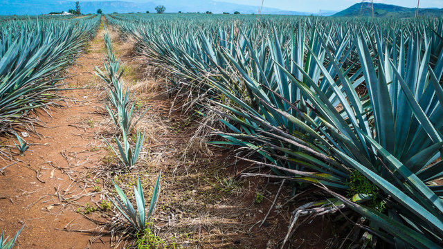 Agave fields in Tequila Jalisco Mexico