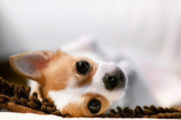 Cute young dog lazy lying on sofa couch with sleepy eyes
