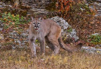MOUNTAIN LION IN MONTANA